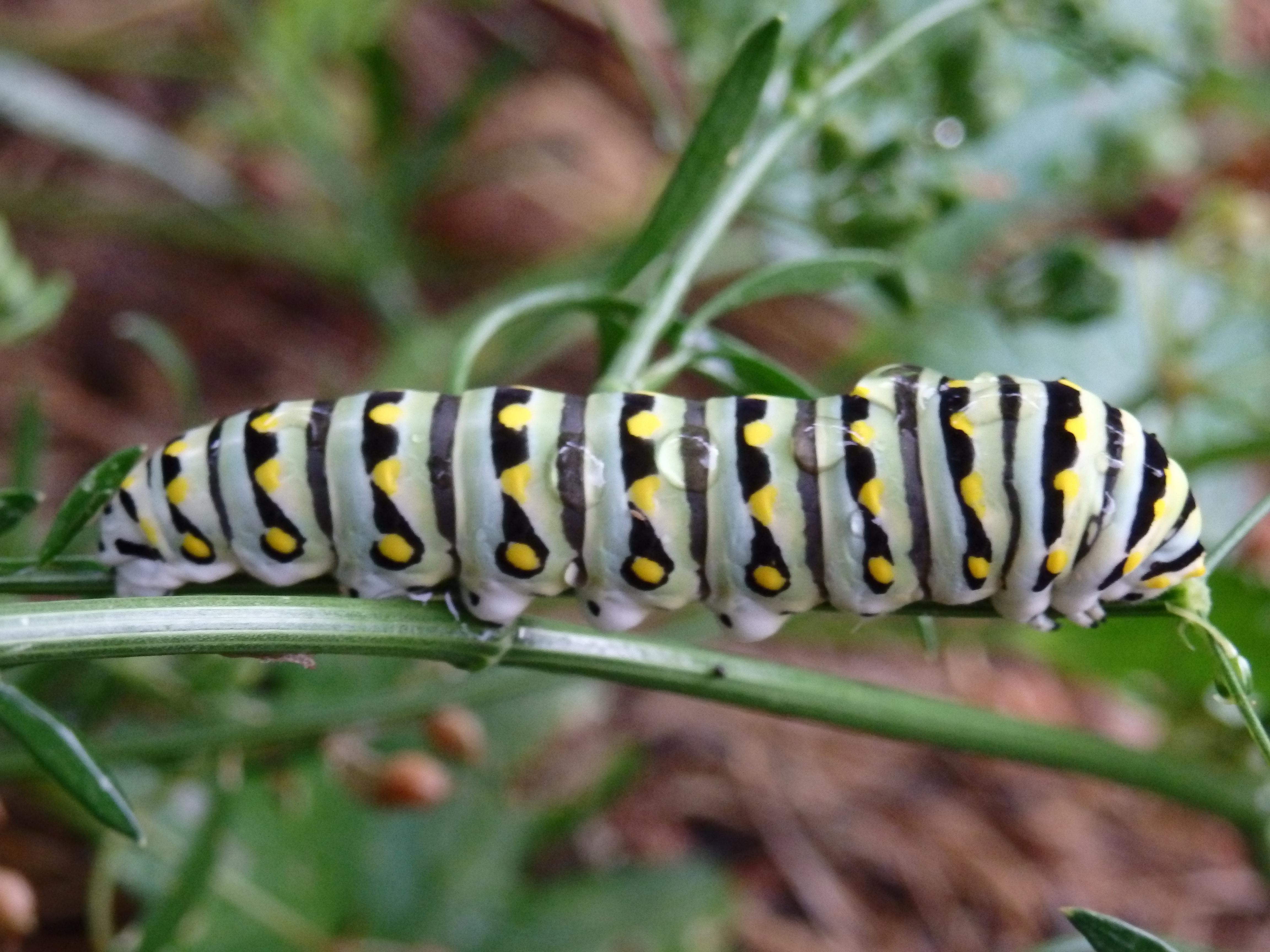 caterpillar drops