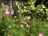 cosmos shields the ground for the grapevine