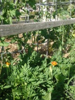 marigold borders tomato with dill