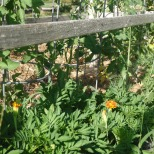 marigold borders tomato with dill