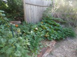 flowers in the curcubits and squash