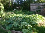 overgrowth of pumpkin vine