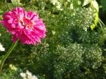 zinnia highlights the oregano gone to flower