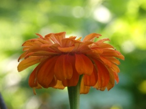 morning light zinnia