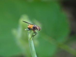 squash bug predator