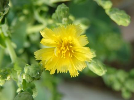 bolted lettuce flower