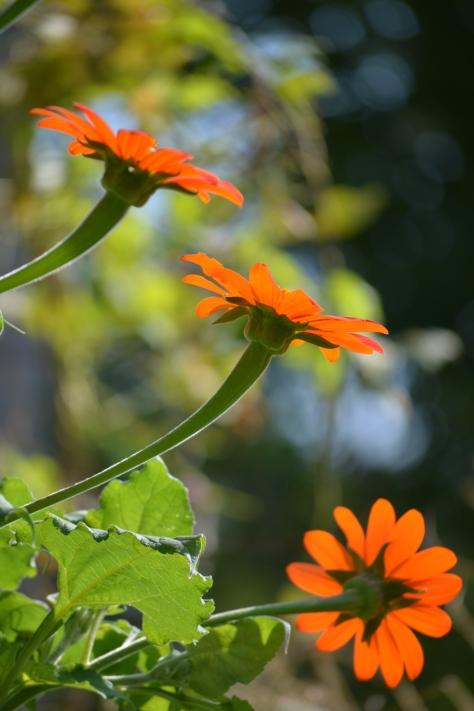tres sunflowers