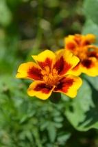 new marigold