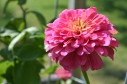 zinnia in fall