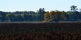milo field