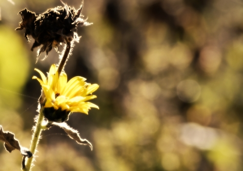 sunflower bokeh