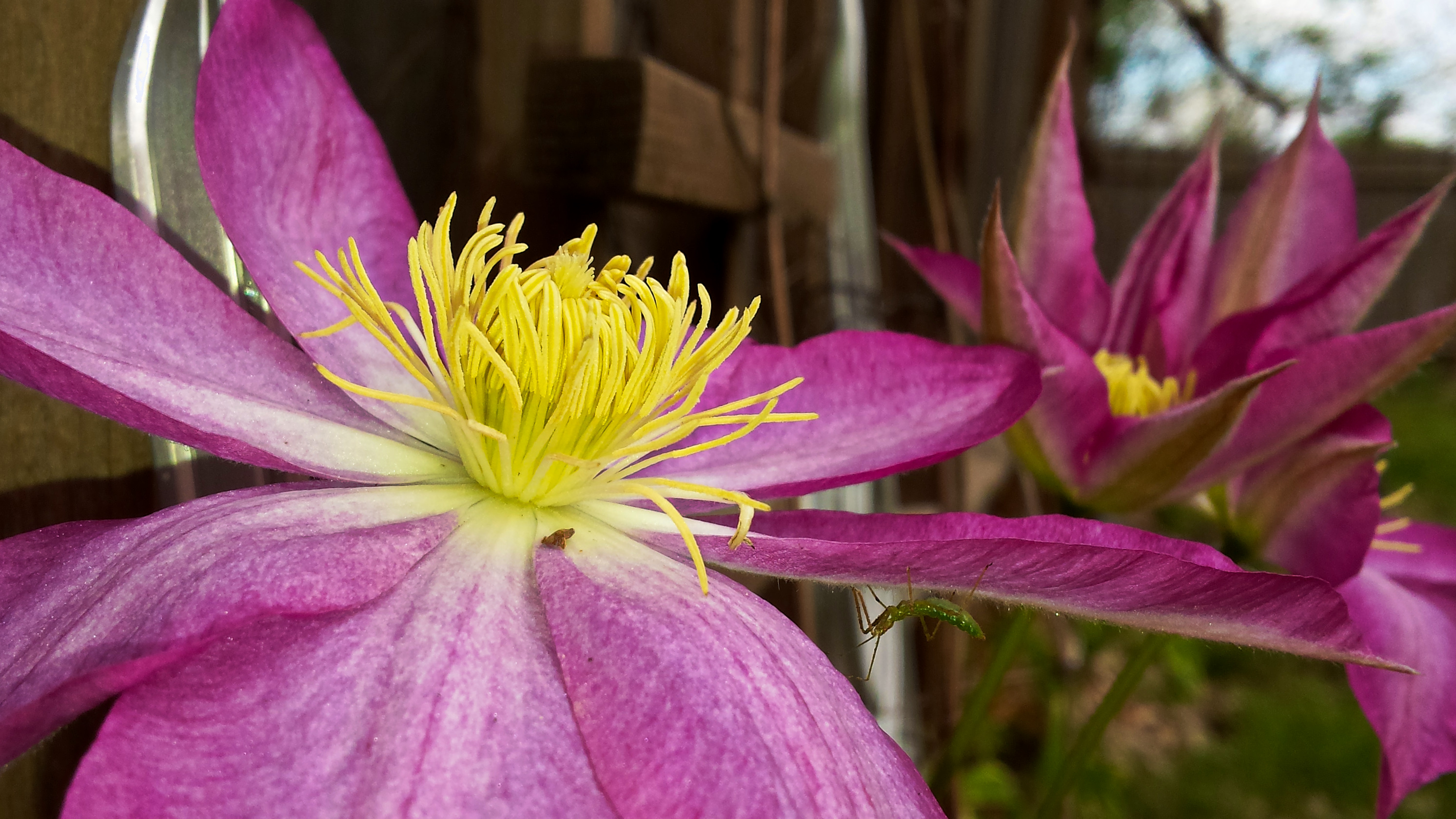 clematis and bug