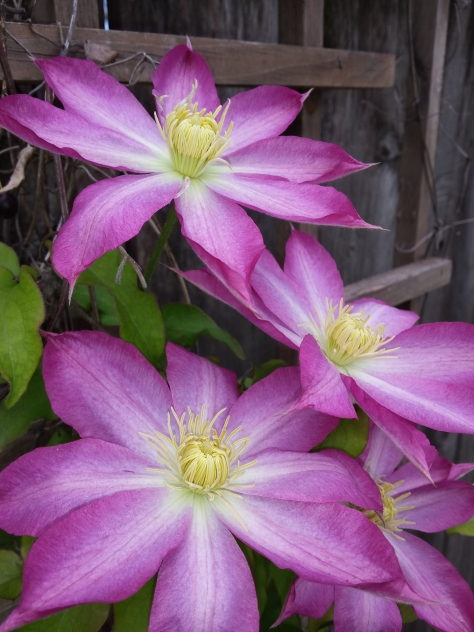 clematis display