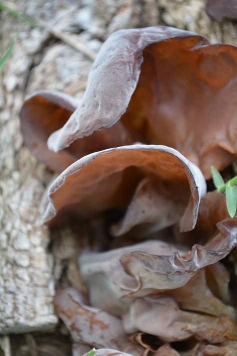 wood ear fungus