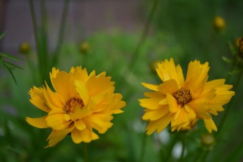 coreopsis pair